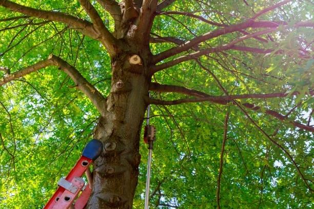 Tree Trimming Service in Berkley California