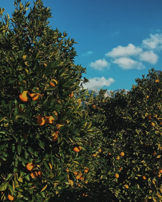 How Do I Grow Healthy And Prolific Citrus Trees In The Bay Area?