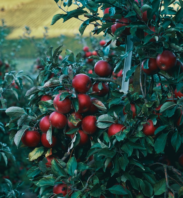 Why, How and when to prune a fruit tree?